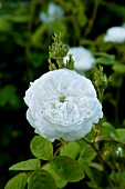 White damask rose (variety: 'Mme Hardy') flowering in garden