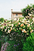 Blooming rose bushes and flowering plants in garden in front of house on a rise