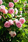Flowering rose (variety: Constance Spry)
