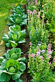 Cabbages and flowering herbs in vegetable patch