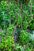 Flowering gamander (Teucrium hircanicum) in garden