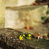 Sprig of yellow flowers on mossy stone coping