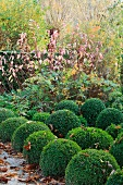 Topiary box balls and shrub with red leaves