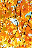 View of sky through yellow autumn leaves of sycamore tree