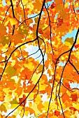 Blick durch gelbe Herbstblätter eines Ahornbaumes in den Himmel