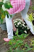 Frau pflanzt eine Margerite ein