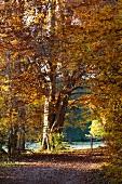 Autumnal woodland path