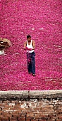 Indian worker checking rose petals drying on a roof