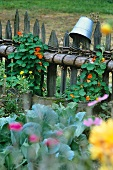 Ornamental cabbages and nasturtiums growing up a picket fence