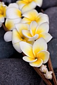Frangipani flowers in a wooden dish