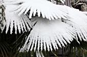 Snow on a palm tree