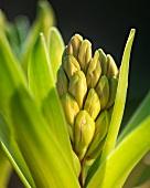 Budding hyacinth (close-up)