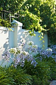 Flowering agapanthus against garden wall