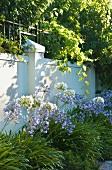 Flowering agapanthus against garden wall
