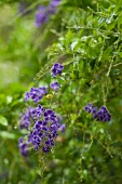 Bush with violet flowers
