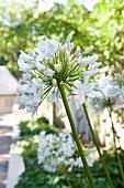 Blühende Agapanthus - Schmucklilie
