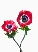 Two bright red anemones with blue stamens set in white centres