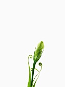 Closed prairie gentian flower with coiled leaf tips
