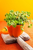 Crinkly oregano (Origanum vulgare 'Crinkle leaf') planted in a hollowed out pepper