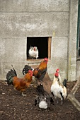 A modern country idyll - cockerel and hens in front of a concrete hen house