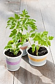 Tomato seedlings and a bean seedling in plastic pots