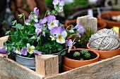 Terracotta pots, violas, sempervivums and garden twine in a wooden crate