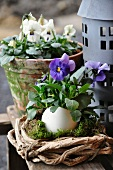 Viola planted in goose egg in front of viola planted in terracotta pot and zinc lantern