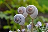 Snails' shells as garden decorations amongst Pulmonaria