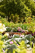 Urban Vegetable Garden in Raised Beds