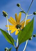 Black-eyed susan, low angle view