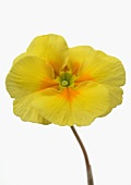 Yellow primrose flower, close-up
