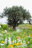 Olive tree in flowery meadow