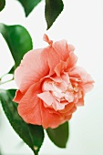 Pink camellia flower, close-up