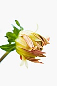 Dahlia flower opening