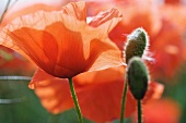 Red poppies, close-up
