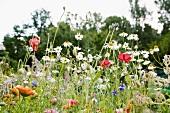 Blühende Wiesenblumen