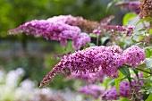 Flowering Buddleja (Buddleja davidii)