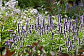 Flowering giant hyssop (Agastache 'Blue Fortune')