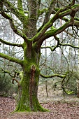 Gnarled, mossy oak (Quercus) in woods
