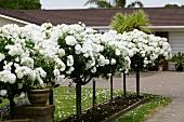 Flowering white standard roses
