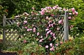 Flowering climbing roses on wooden trellis in garden