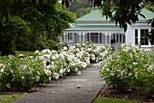 Landhaus mit blühenden Rosenbüschen entlang dem Gartenweg