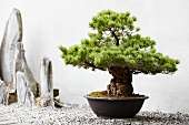 Bonsai pine tree in pot