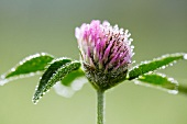Droplets of water on flowering clover (Trifolium pratense)