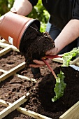 Gardening - seedlings being replanted