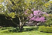 Spring garden with resplendent flowering tree