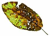 Perforated leaf