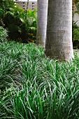 Close up of Liriope muscari 'Evergreen Giant'
