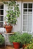 Bumentopf auf Beistelltisch vor Hausfassade mit Kletterpflanze zwischen Sprossenfenstern