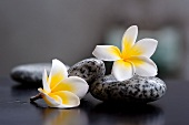 Two frangipani flowers and grey stones